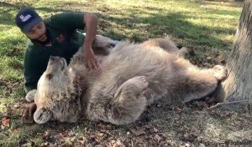 Взрослая медведица узнала мужчину, который вырастил ее