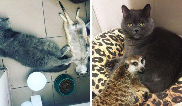 Кот и сурикат из Санкт-Петербурга стали лучшими друзьями
