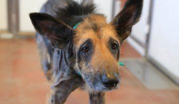 Бездомная собака попала к волонтерам, он был в печальном состоянии