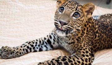 Парень из Екатеринбурга купил больного леопарда в зоопарке и теперь они живут вместе