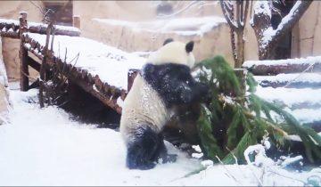 Панда показала, как нужно убирать новогоднюю елку
