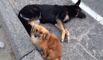 Бездомный песик защищал раненную собаку, ведь она была беременная