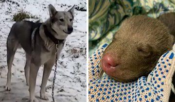 В садоводстве под Гатчиной собака Лайма нашла крохотного медвежонка. Люди решили помочь ему