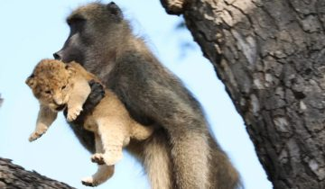 Гид в сафари-парке заметил бабуина со львенком. И они повторили сцену из «Короля льва»!