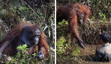 Орангутанг подошел к человеку и предложил ему руку помощи