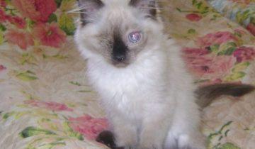Слепого породистого котенка хотели усыпить, но ветеринар отказался