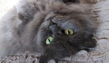 Беременная кошка решила погреться в подъезде. Ее жизни угрожала опасность