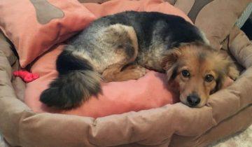 Собаку спасли от живодеров, после чего она попала в приют. Но и там ее обижали