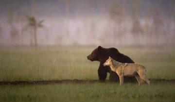 Невероятная дружба медведя и волчицы, которую заснял житель Финляндии