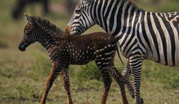 Необычная зебра родилась в Кении: она пятнистая, а не полосатая