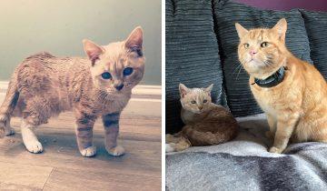 Котик Манчи никогда не вырастет и навсегда останется юным. Все это из-за редкой болезни