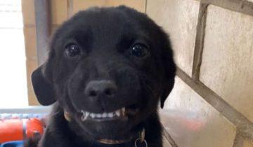 «Я очень хороший?» — щенок улыбается, когда слышит ласковый голос. Только дома у него по-прежнему нет