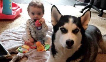 Маленький малыш учит язык собак, копируя вой хаски