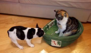 Маленький песик пытается отобрать свою кроватку у злого кота