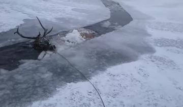 Отважные мужчины спасли оленя, который провалился в холодную воду и застрял