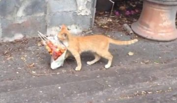 Рыжий курьер: по улице шел кот, который грациозно нес в пакете шашлыки