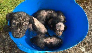 Владельцы дома нашли во дворе ведро, в котором сидели больные лысые щенки