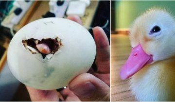Из яйца, которое девушка купила в ресторане Вьетнама, родился утенок, который стал лучшим ее другом