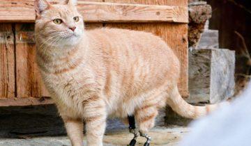 Котик Вито потерял лапки в аварии, но ему поставили протезы и его жизнь изменилась
