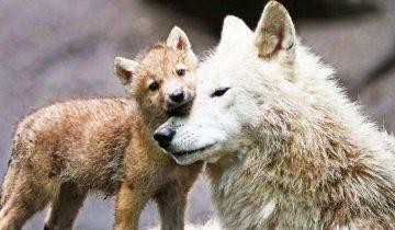 Однажды парень спас волчицу и ее маленьких волчат, а спустя пять лет произошла трогательная встреча