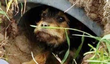 Люди увидели пса, сидевшего в трубе. Почему-то бедняжка лежал и не мог выбраться наружу