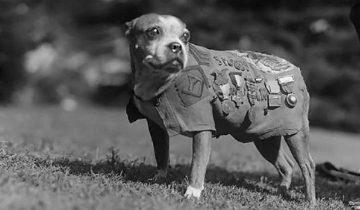 Сержант Стабби — героическая собака Первой мировой войны