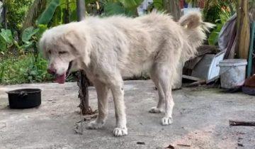 Владельцы уехали в отпуск, бросив собаку привязанной во дворе. Так и сидела она там на цепи голодная