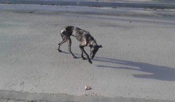 Кажется, спасти худого пса было не под силу даже Всевышнему! Спустя 4 недели все изменилось