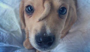 Зоозащитники обнаружили собаку-единорога. Это крошечный щенок Нарвал, и у него хвостик растет на лбу