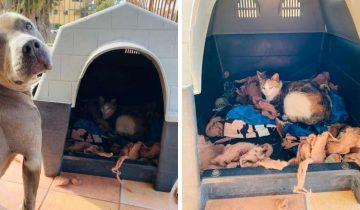 Питбуль поразил хозяина, уступив будку бездомной кошке. Она так доверилась собаке, что родила там котят