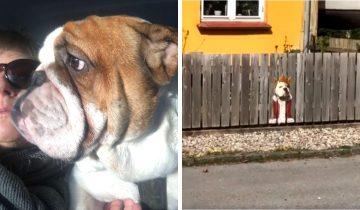 Бульдог из Дании обожал смотреть на улицу через дырку в заборе и с помощью таланта владелицы стал «Королем дорог»