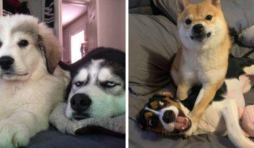 16 фото собачьих братьев и сестер, которые не в восторге от своих родственников