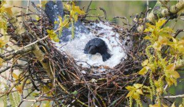 Ворона спасла своих птенцов от града, накрыв яйца телом