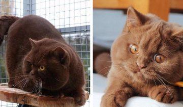 В Гемании разводят роскошных котов с шоколадной шубкой