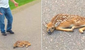 Парень заметил лежащего на дороге олененка и решил спасти малыша