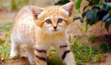 Барханная кошка — наиболее мелкая порода, даже взрослыми они выглядят как котята