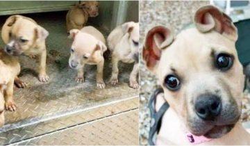 Девушка нашла худых щенков на улице, но у одного были очень забавные ушки