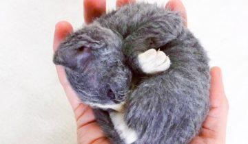 Девушка Аманда выходила котенка, который был похож на плюшевую игрушку
