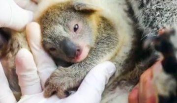 В Австралии впервые со времен пожаров родилась крошечная коала, которая стала символом надежды