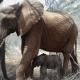 Мама-слониха привела новорожденного слоника к людям, которые ранее спасли ее