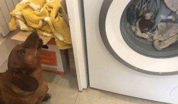 Такса целый час рыдала, пока ее любимую игрушку стирали в стиральной машинке