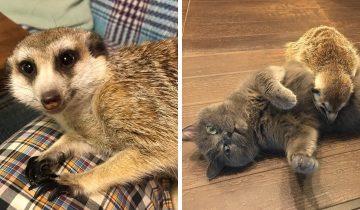 Суриката спасли из зоопарка. Теперь он дружит с котом и считает его вожаком, несмотря на разный темперамент