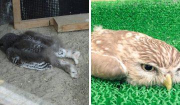 Люди в сети обнаружили, что совята спят лицом вниз, и их фото — олицетворение конца рабочего дня