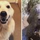 Хвостатые грязнули: фотографии собак до и после прогулки