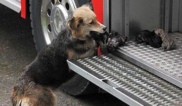 Собака спасала своих щенков из горящего дома и выносила их прямо в пожарную машину