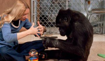 Удивительная история о горилле, которая «стала человеком»