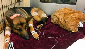 Собака Рекс получила ранение спасая своего хозяина от бандитов