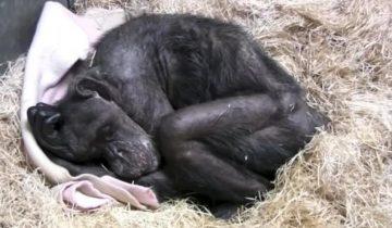 Погибающая шимпанзе «по-человечески» простилась с мужчиной, которого знала больше 40 лет