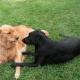 Пес так любит соседскую собаку, что среди ночи проведывает ее с презентами!