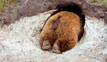 Как изнутри выглядит настоящая берлога медведя